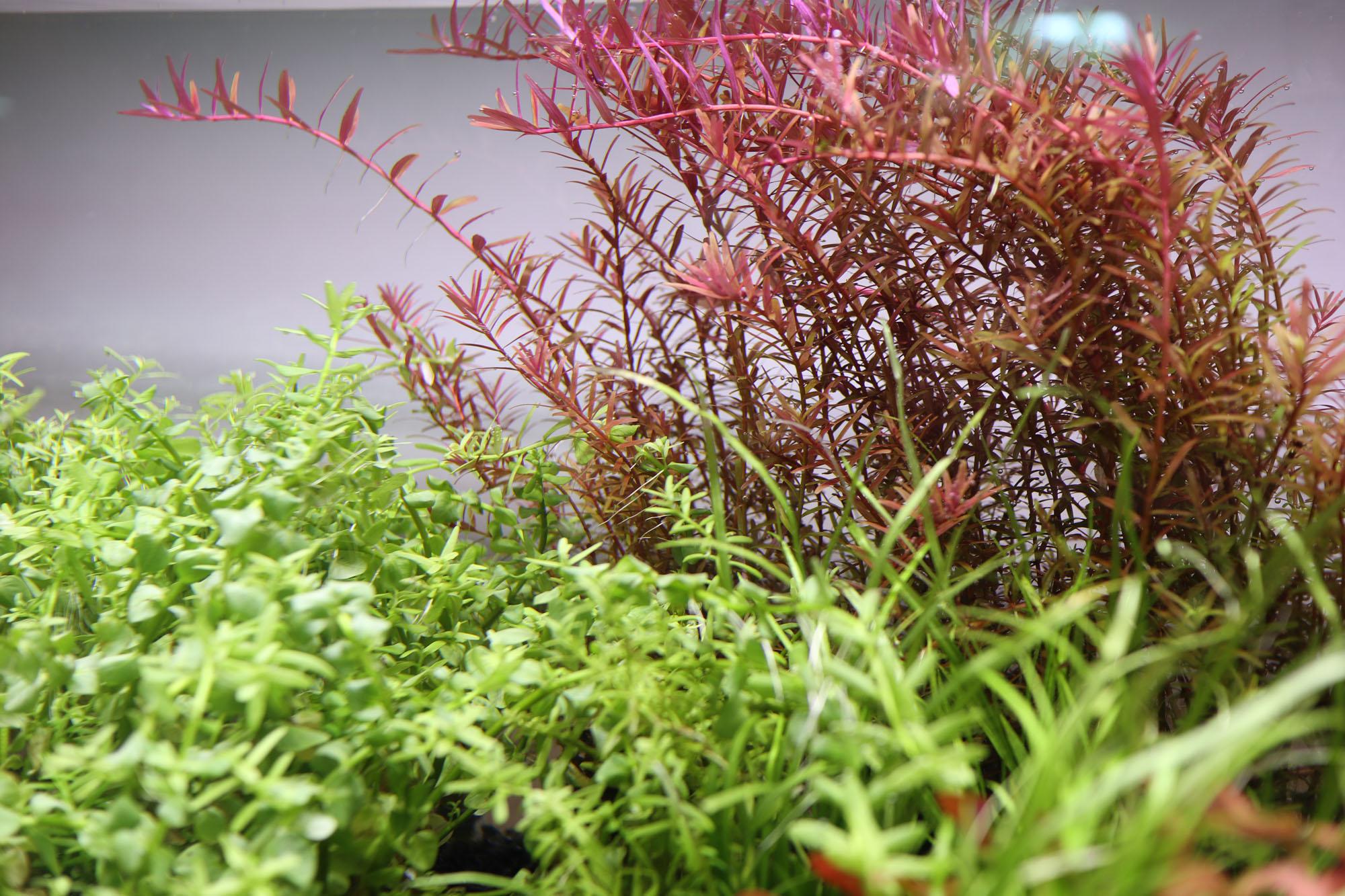 ロタラインディカ、ロタラロトンジフォリアなど赤系有茎草を中心に入荷