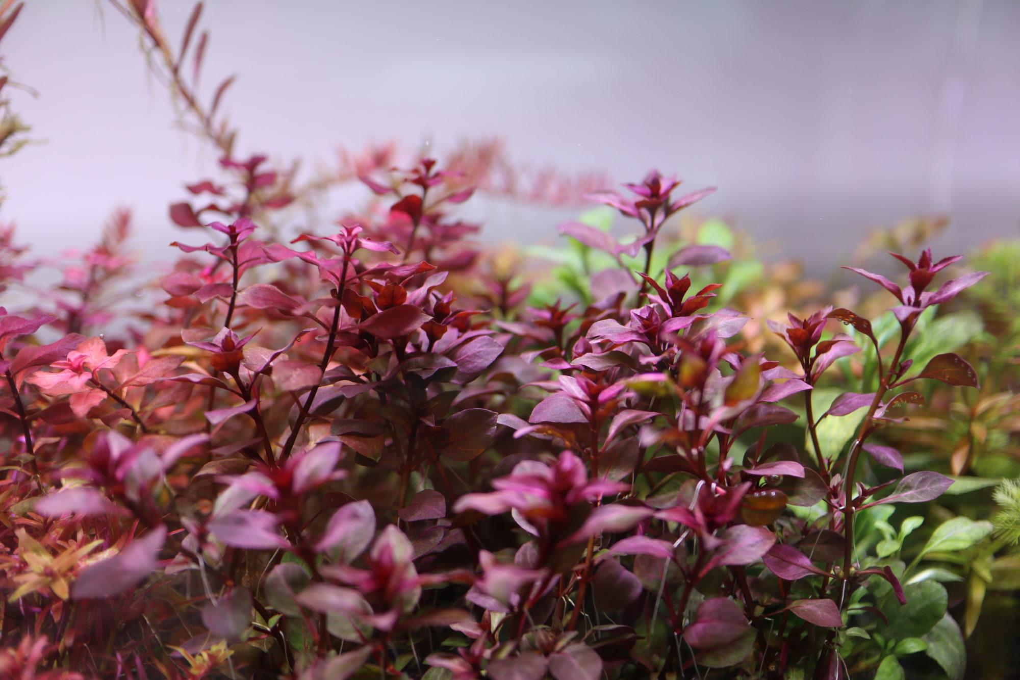 紅葉の季節がら赤系有茎草を多種入荷